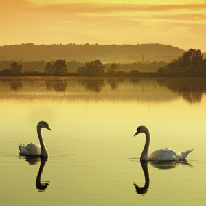 swans-000010396348_Large